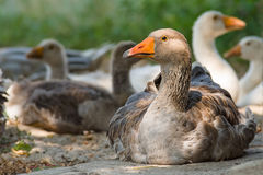 Domestic geese Royalty Free Stock Image