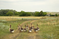 Domestic geese go to their farm. Domestic geese graze on traditional village goose farm stock photo