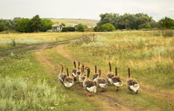 Domestic geese go to their goose farm. Domestic geese graze on traditional village goose farm stock images