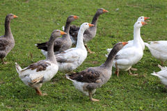 Domestic geese and goose are grazing in the green grass Royalty Free Stock Photos
