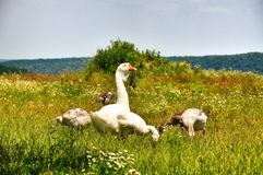 Domestic geese with goslings Stock Photography