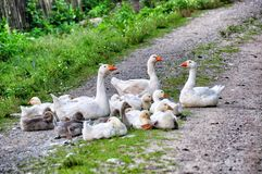 Domestic geese with goslings Royalty Free Stock Images