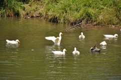 Domestic geese with goslings Royalty Free Stock Image