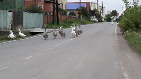 Domestic geese graze. Outdoors on village street stock footage