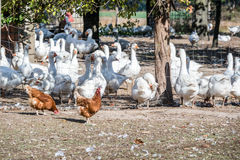 Domestic geese graze on goose farm Royalty Free Stock Photography