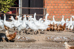 Domestic geese graze on goose farm Royalty Free Stock Image