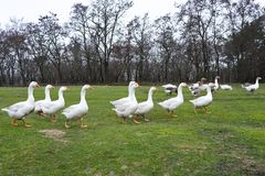 Domestic geese graze in the meadow. Poultry walk on the grass. Domestic geese are walking on the grass. Rural bird grazes in the stock photography