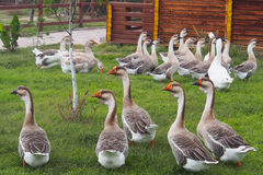 Domestic geese graze on traditional village goose farm outdoors Royalty Free Stock Photos