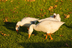 Domestic geese grazing Royalty Free Stock Photos