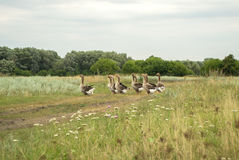 Domestic geese grazing in the meadow Stock Photo