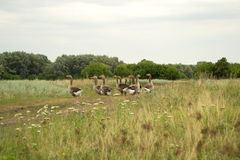 Domestic geese grazing in the meadow. Domestic geese graze on traditional village goose farm royalty free stock photos