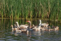 Domestic geese on the lake Royalty Free Stock Photos