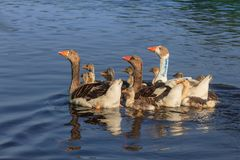 Domestic geese on the lake Stock Images
