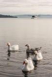 Domestic geese on lake Rotorua Royalty Free Stock Image