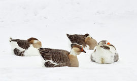 Domestic geese lie on the snow on a cold day Royalty Free Stock Photography