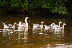 Domestic geese near a farm pond. A herd of beautiful white geese floating in a pond Stock Photos