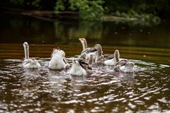 Domestic geese near a farm pond. A herd of beautiful white geese floating in a pond Royalty Free Stock Image
