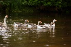 Domestic geese near a farm pond stock photography