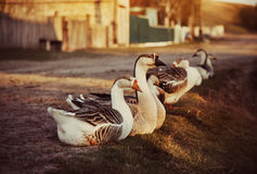Domestic Geese Outdoor Royalty Free Stock Image