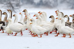 Domestic geese outdoor in winter Stock Images