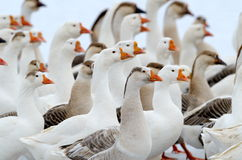 Domestic geese outdoor in winter Stock Photography