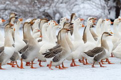 Domestic geese outdoor in winter Royalty Free Stock Photography