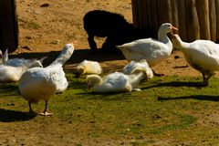 Domestic geese Stock Images