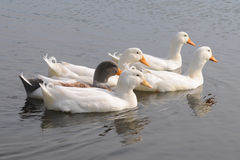 Domestic geese in a pond Stock Photo