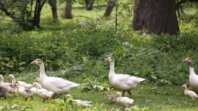 Domestic geese in the pond stock footage