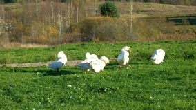 Domestic geese preen their feathers on the lawn stock video footage