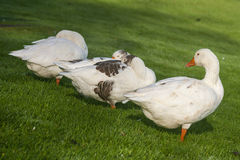Domestic geese resting on grassy meadow Royalty Free Stock Photo