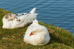 Domestic geese resting Stock Photos