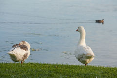 Domestic geese resting on riverbank Royalty Free Stock Images