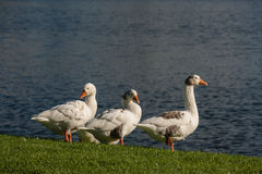 Domestic geese on riverbank Stock Photos