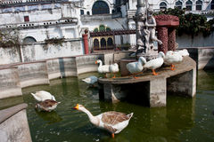 Domestic Geese Swimming In The Old Fountains