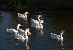 Domestic geese swimming in a pond. Domestic geese swimming in a pond on a warm evening Stock Image