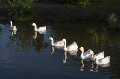 Domestic geese swimming in a pond. Domestic geese swimming in a pond on a warm evening Royalty Free Stock Image