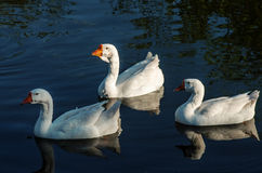 Domestic geese swimming in a pond. Domestic geese swimming in a pond on a warm evening Royalty Free Stock Photo