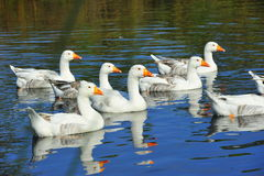 Domestic geese swimming on a river Royalty Free Stock Photo
