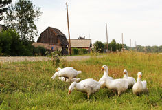 Domestic geese in the village Royalty Free Stock Images