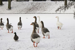 Domestic geese walking on ice Stock Photo