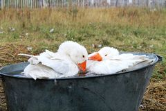 Domestic  geese in the washbowl Stock Image