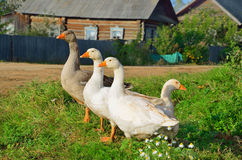 Domestic geese are white and gray Stock Image