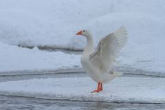 Domestic geese in winter Stock Photo