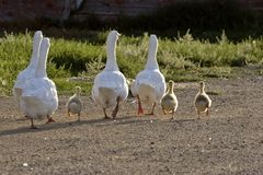 Domestic Geese With Goslings
