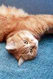 Domestic Ginger Cat Royalty Free Stock Image