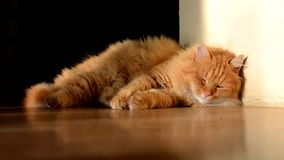 Domestic ginger cat sleeping stock video