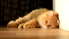 Domestic ginger cat sleeping stock footage