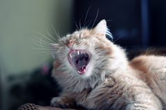 Domestic ginger cat yawns Stock Images