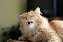 Domestic ginger cat yawns Royalty Free Stock Photo